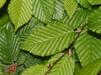 Carpinus betulus/ Avenbok bar-rotad