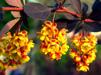 Berberis thunbergii 'Atropurpurea'/  Berberis