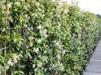 Trachelospermum jasminoides/ Stjärnjasmin