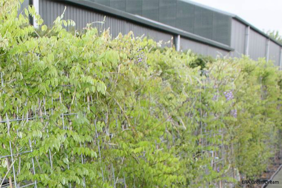 Wisteria sinensis Prolific/ Kinesiskt blåregn | ERA Green Dream
