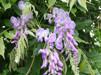 Wisteria sinensis Prolific/ Kinesiskt blåregn