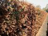 Metasequoia glyptostroboides/ Kinesisk sekvoia