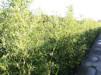 Phyllostachys bissetii/ Bisettbambu