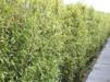 Phyllostachys nigra/ Svartbambu