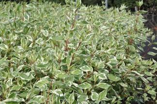 Cornus alba 'Elegantissima'/ Rysk kornell, brokbladig