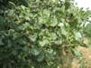 Alnus glutinosa/ Klibbal