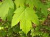 Acer pseudoplatanus/ Tysklönn