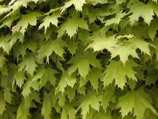 Acer platanoides/ Skogslönn