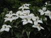 Cornus kousa 'chinensis'/ kinesisk blomsterkornell