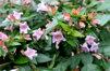 Abelia 'Edward Goucher'/ vinterbuske