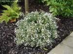 Abelia grandiflora 'Conti' (Confetti)