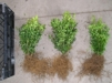 Buxus sempervirens/ Buxbom ( häck ) - 20-25 cm