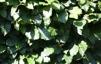 Fagus sylvatica/Bok med jordklump