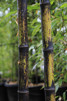 Phyllostachys nigra/Svart bambu