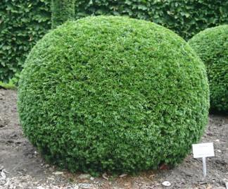 Taxus baccata klot