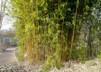Phyllostachys aurea 'Aureocaulis'/