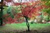 Acer japonicum ' Aconitifolium'