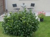 Prunus l. 'Etna'