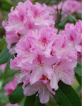 Rhododendron ' Cheer'
