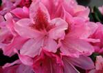 Rhododendron ' Cosmopolitan'
