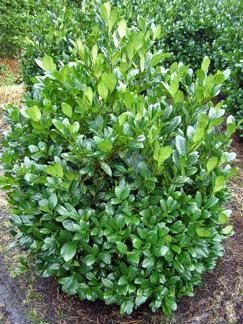 Prunus l. 'Mano' (extra)