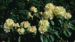 Rhododendron ' Elsie Straver'