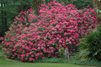 Rhododendron ' Anna Rose Whitney´