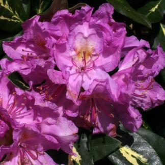 Rhododendron ' Goldflimmer'