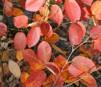 Amelanchier lamarckii/Prakthäggmispel
