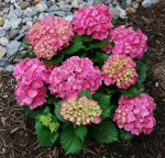 Hydrangea Forever & Ever Pink