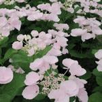 Hydrangea Hovaria ' Hobella'