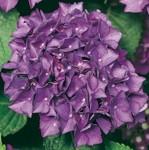 Hydrangea Hovaria ' Hobergine'