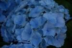 Hydrangea Hovaria ' Homigo'
