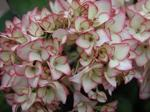 Hydrangea Hovaria ' Love you Kiss'