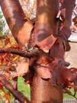 Acer griseum/ kopparlönn