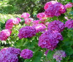 Hydrangea macrophylla ' Bouquet Rose'