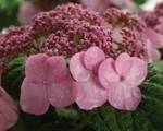 Hydrangea macrophylla ' Endless Summer ' Twist and Shout'
