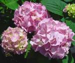 Hydrangea macrophylla ' Endless Summer'