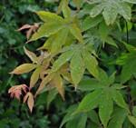 Acer palmatum ' Osakazuki'/ japansk lönn