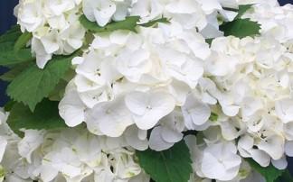 Hydrangea Forever & Ever White