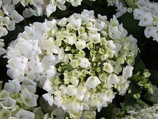 Hydrangea Hovaria ' Holibel'