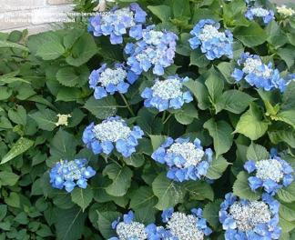 Hydrangea macrophylla ' Blaumeise'
