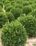 Buxus microphylla´Winter Gem'/ Buxbom (klot)