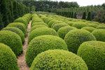 Buxus sempervirens/ Buxbom ( Trioklot)