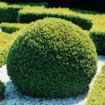 Buxus sempervirens/ Buxbom (klot)