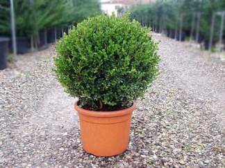 Buxus mikrophylla 'Faulkner'/ Buxbom