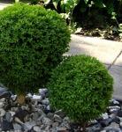 Buxus sempervirens 'Suffruticosa'/ Buxbom