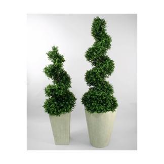 Buxus sempervirens/ Buxbom (Spiral)