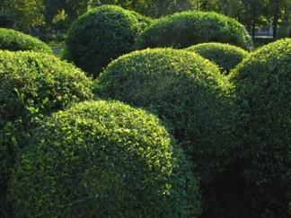 Buxus sempervirens/ Buxbom ( buskar- Extra)