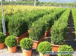 Buxus sempervirens ' Hollandia'/ Buxbom ( buskar- Extra)